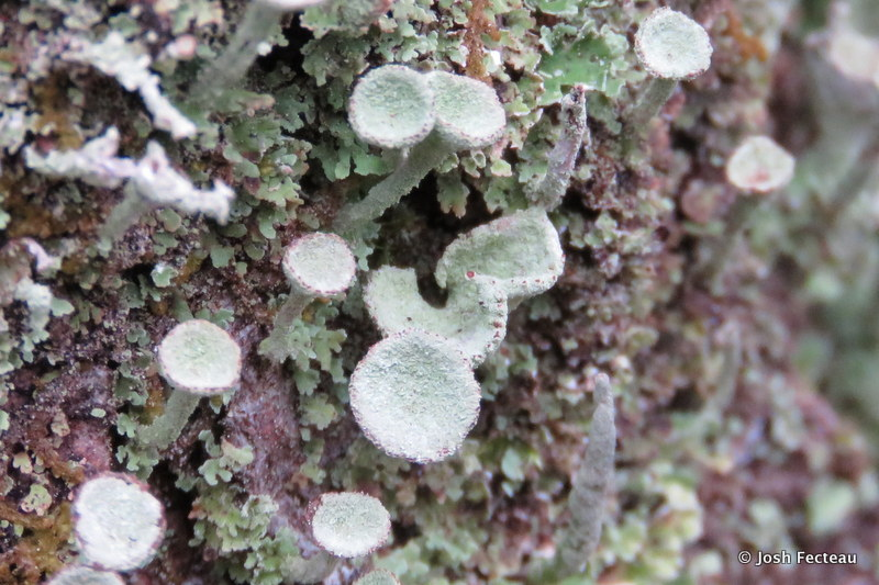 Photo of Pixie Cup Lichen