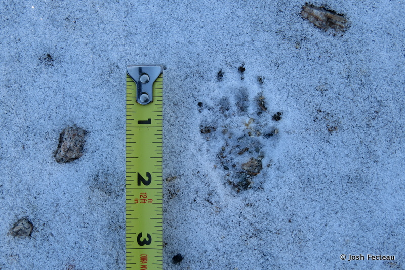 Photo of Quiz #196: Mammal Tracks