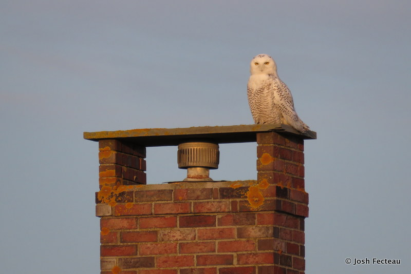 Photo of Snowy Owl