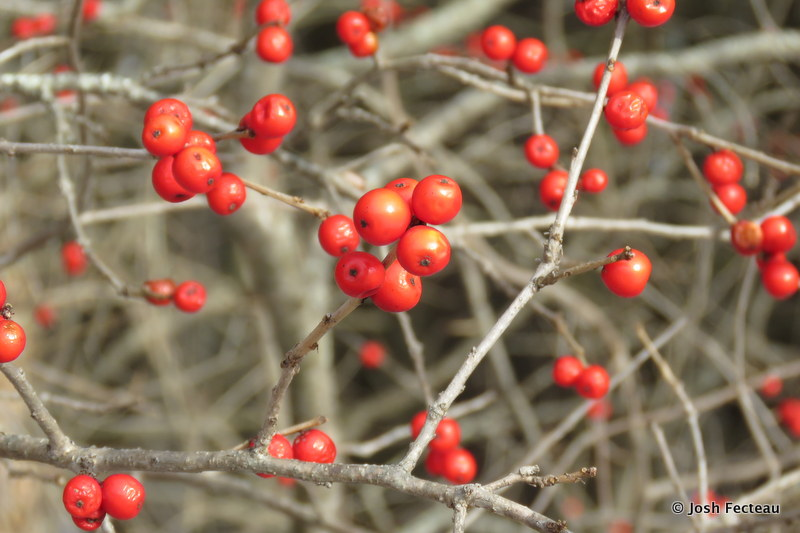 Photo of Winterberry